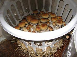 как выращивать грибы