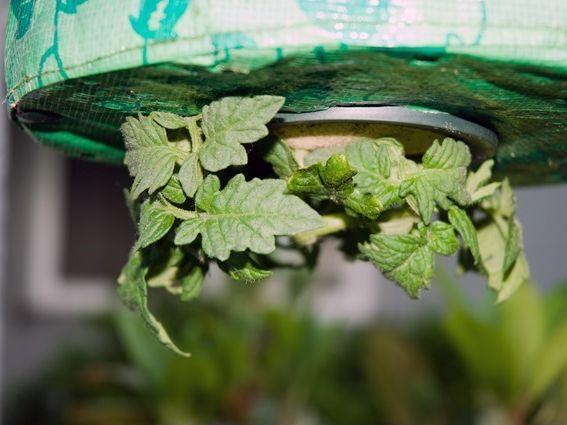 Выращивание помидоров в мешке