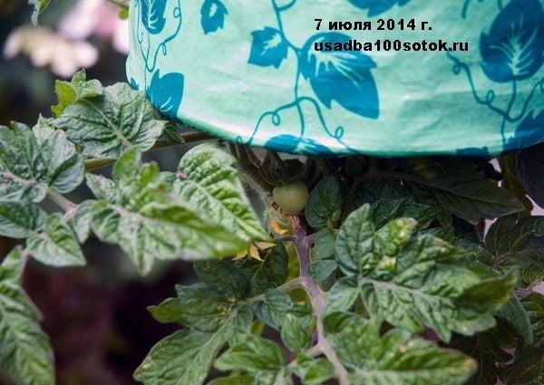 d0037-09-tomat