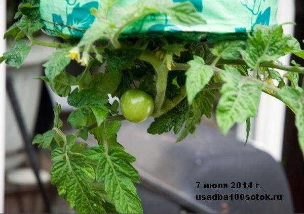 d0037-10-tomat