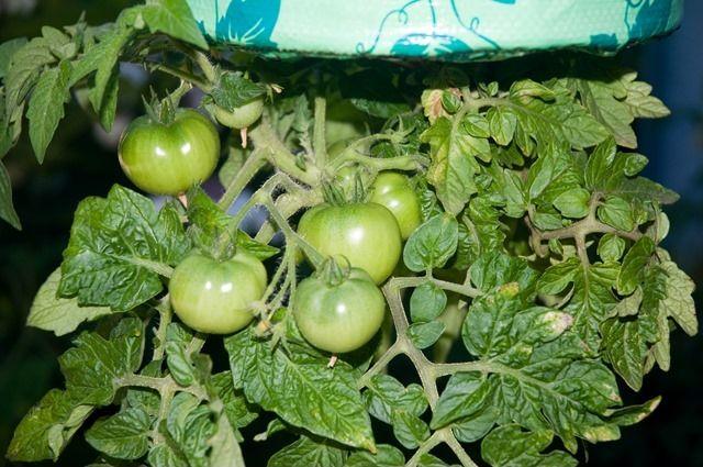 d0037-122-tomat