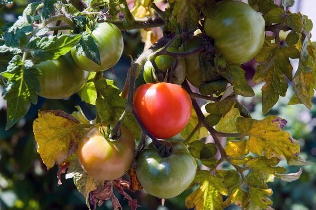 d0037-15-tomat